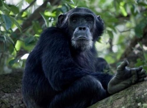 chimpanzees-kibale-uganda