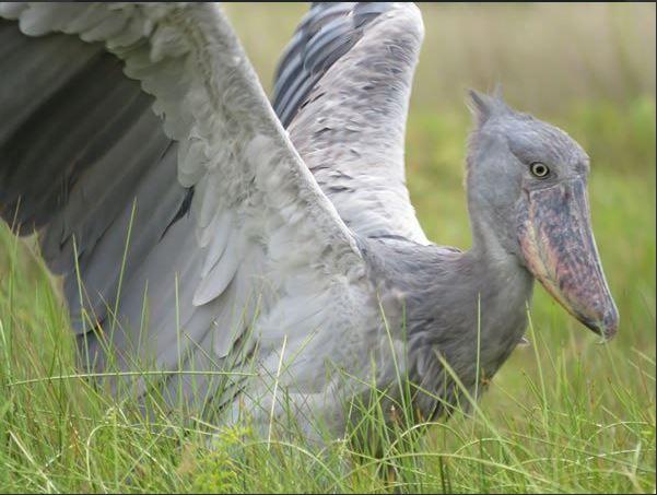 Shoebill stork - Birding Uganda