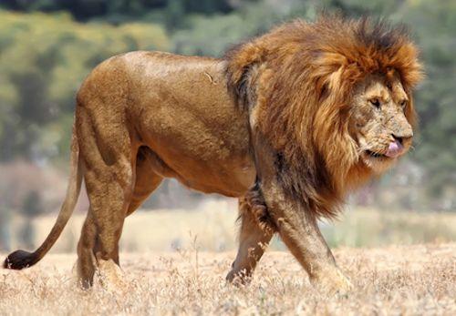 african-savannah-lion