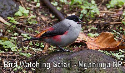 birding-safari-mgahinga