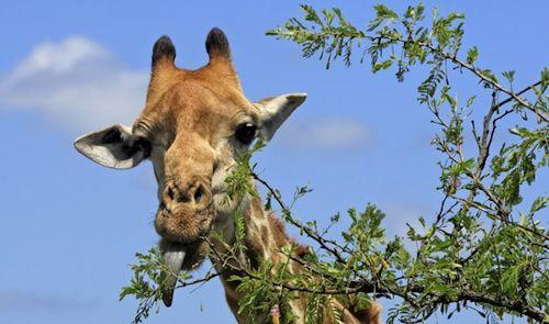 giraffe-feeding-uganda-safari