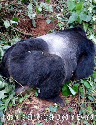 ndahura-silverback-died-bwindi