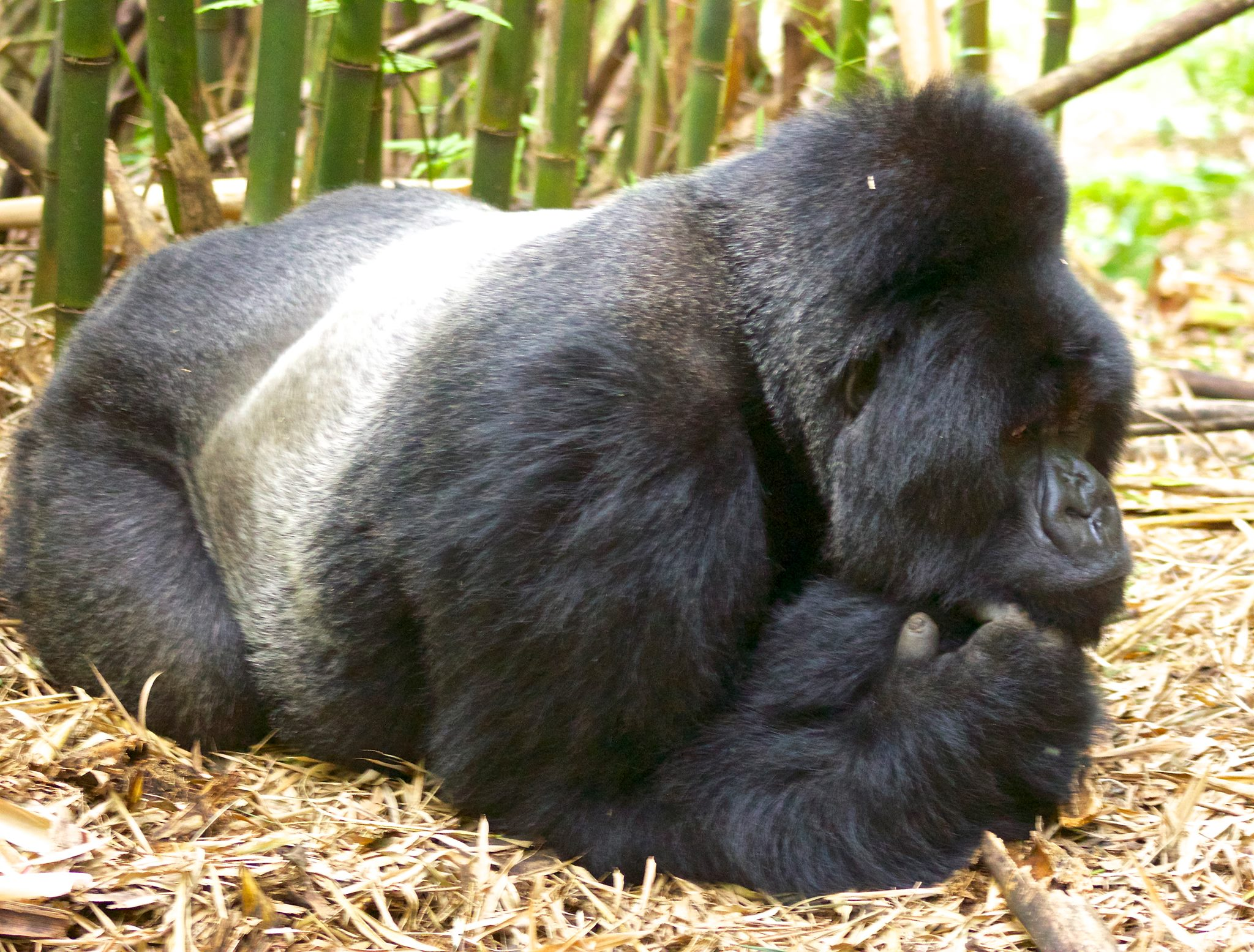 Gorilla Trekking trips