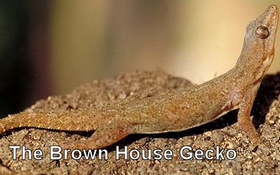 house-gecko