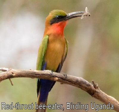 red-throated-bee-eater