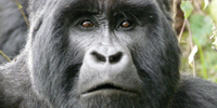 gorilla watching in Uganda