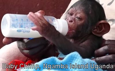 The Story of Baby 'Survivor' born on Ngamba Chimpanzee