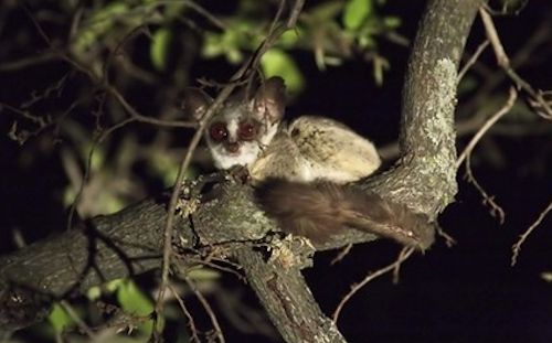 bush-babies-uganda