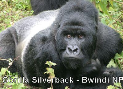 bwindi-silverback-gorilla