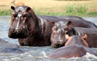 Meet the Amazing Hippos on Your Uganda Safari | Adventure Uganda Safaris