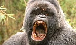gorilla tracking uganda