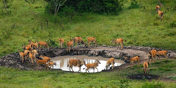 Antelopes taking water in Lake Mburo